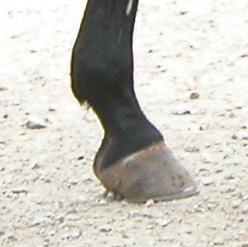 Gesunde Hufe sind wichtig für das Pferd