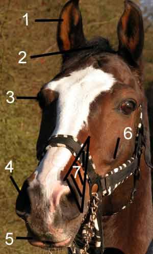 Der Pferdekopf von Vorne