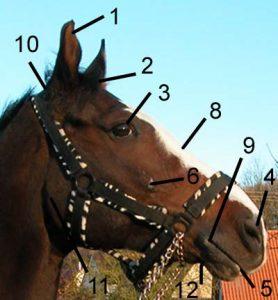 Der Pferdekopf von der Seite