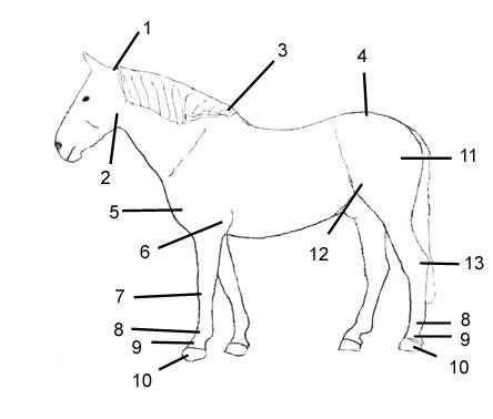 Die Gelenke eines Pferdes