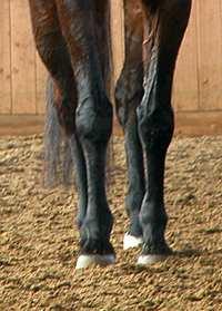 Dieses Pferd ist nicht geradegerichtet