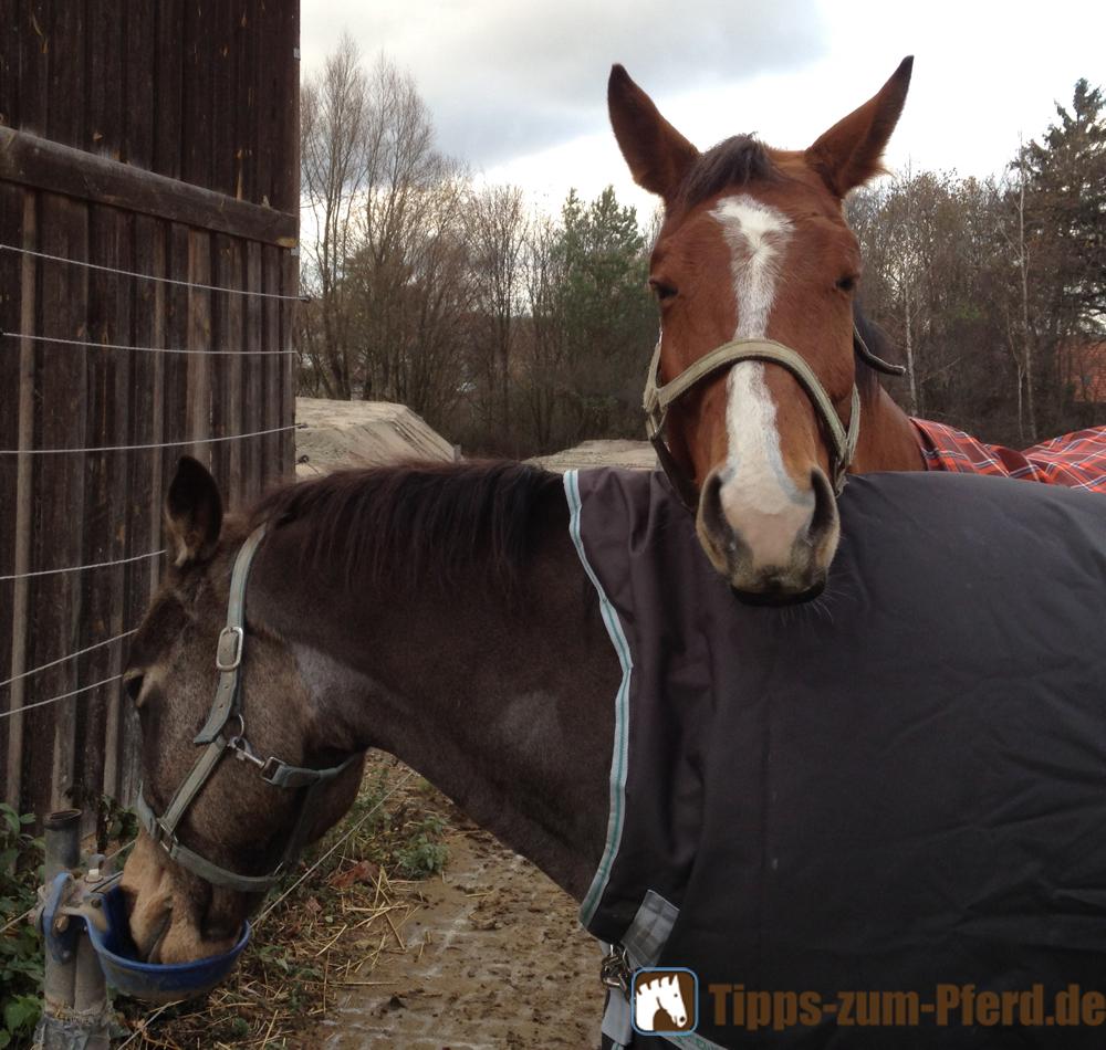 Zwei Pferde mit Decke beim Schmusen