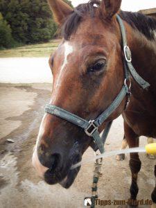 Trakehner Winnie trinkt aus dem Wasserschlauch - kann nicht jedes Pferd - (Foto: Franziska Goldmann)