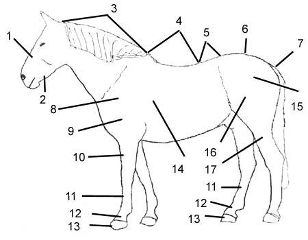 Die Knochen des Pferdes