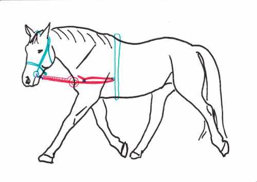Pferd mit korekkt verschnallten Ausbindern