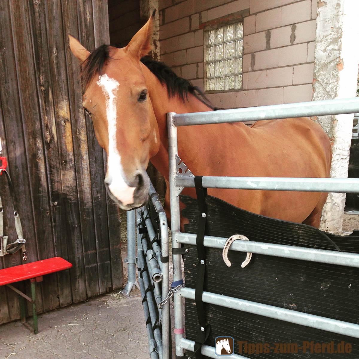 Pferd im Stall - im Vordergrund das gerade abgetretene Hufeisen - (Foto: Franziska Goldmann)