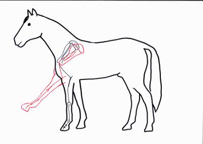 Skelett des Pferdes im Stehen und bei gehobenem Vorderbein