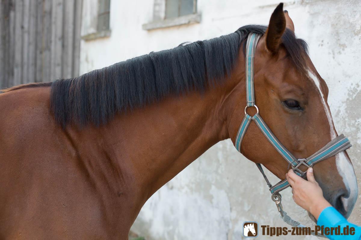 Pferd Mähne Verziehen Anleitung Tipps Zum Pferd