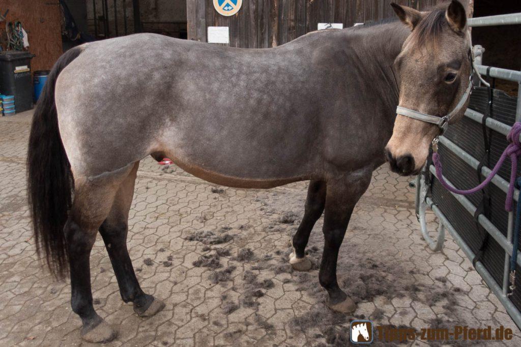Pferd scheren: Macy ist bereits geschoren