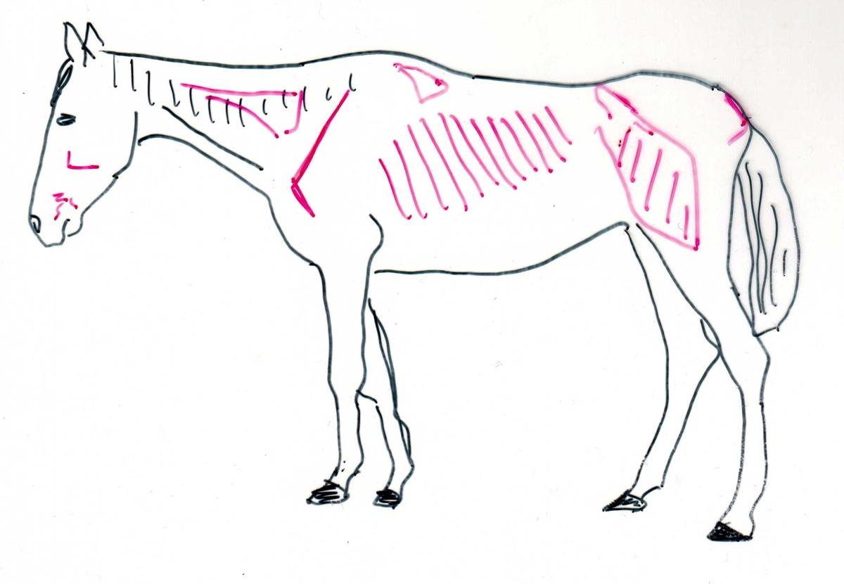 Pferd zu dünn - (Foto: Franziska Goldmann)