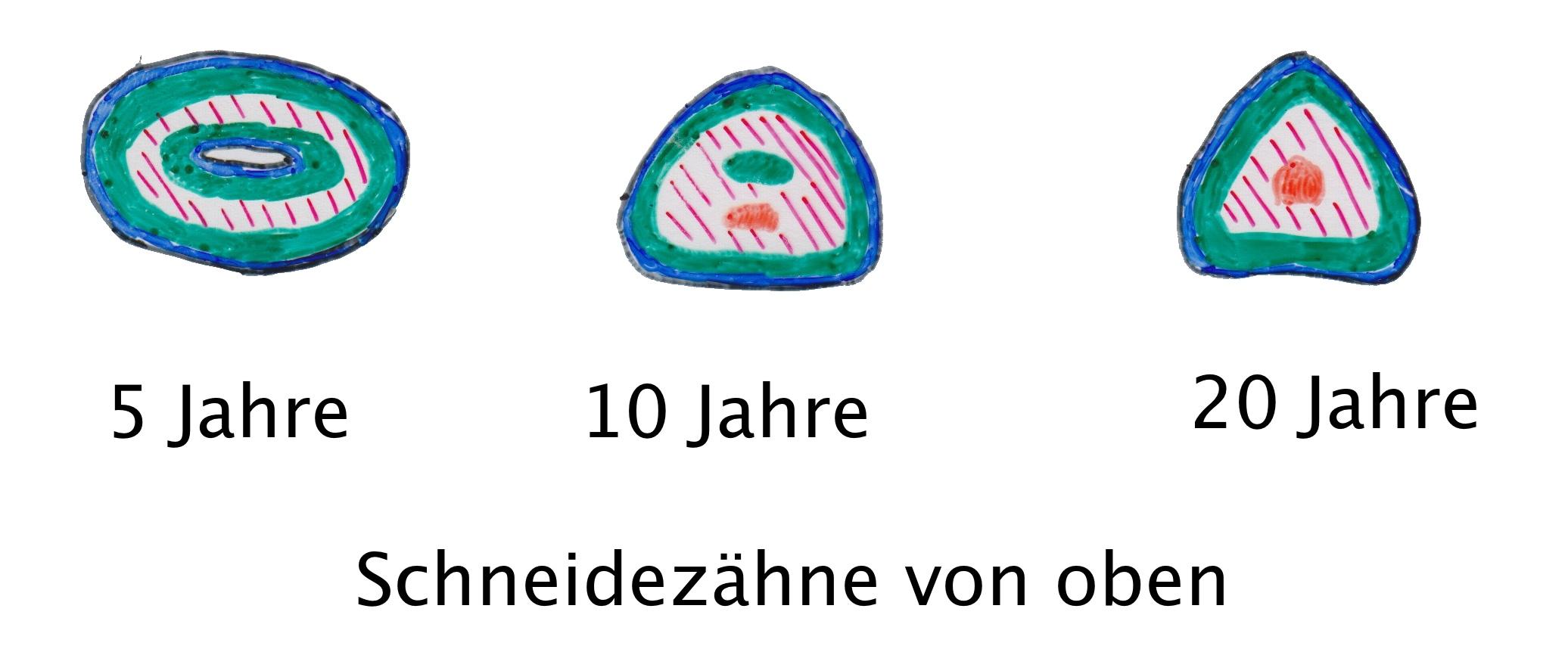 Berühmt Pferd Zähne Anatomie Ideen - Anatomie Von Menschlichen ...