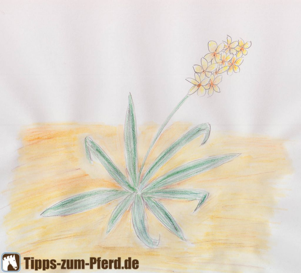 Eine Zeichnung der Flohsamen-Pflanze Plantago ovata