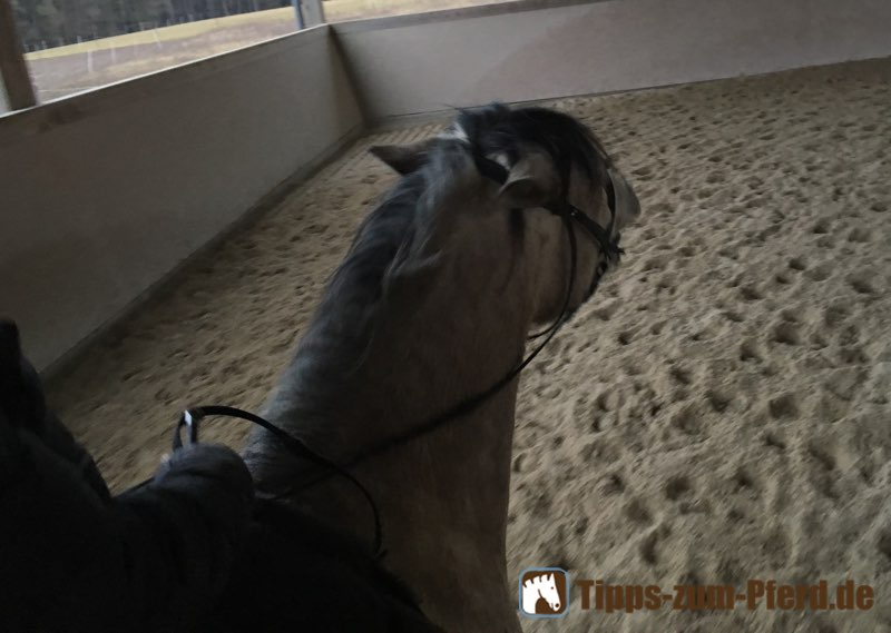 Weißes Pferd mit hochgerissenem Kopf, gebleckten Zähnen und angelegten Ohren