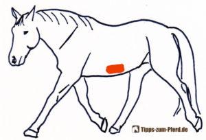 Pferd mit einem markierten Bereich am unteren Teil des Bauchs